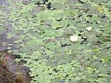 ビオトープの水生植物